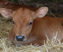laying calf