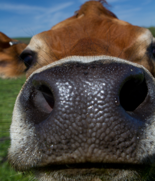 cow nose upclose